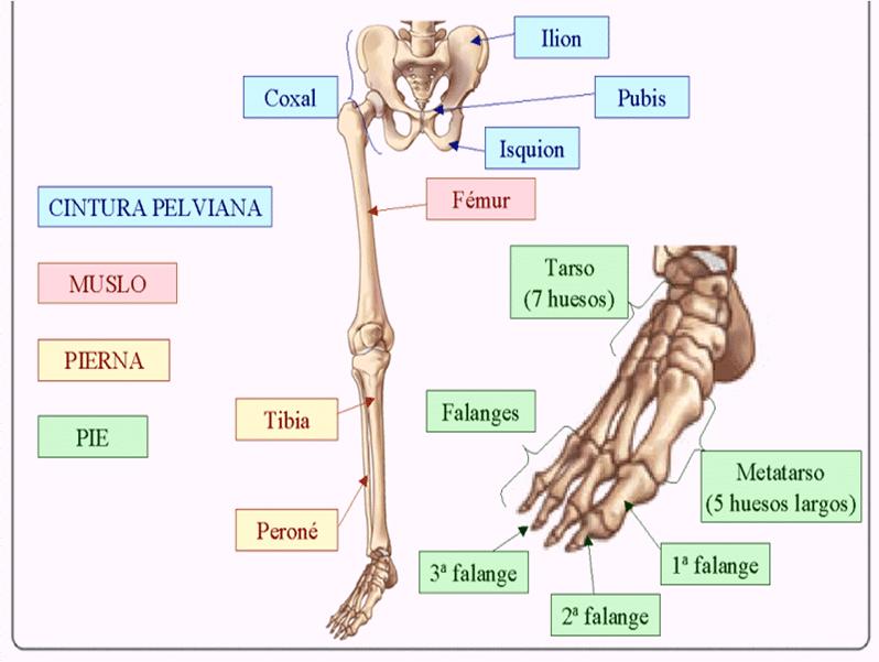 Sabe cuántos huesos tiene el cuerpo humano? Descúbralo aquí