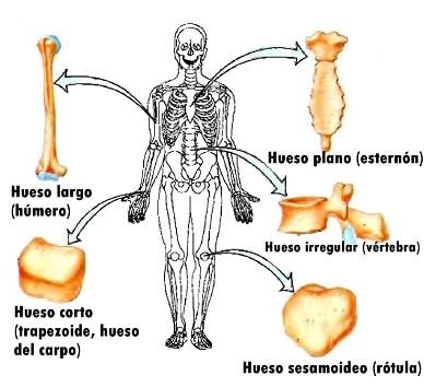 Huesos cortos: definición, función, ¿cuáles son? Tipos y más