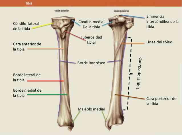 Huesos largos: ¿qué son? Anatomía, función, características y más