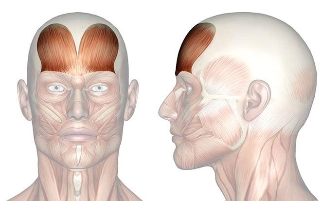 El rostro es la parte del cuerpo humano que expresa la personalidad de la persona. Además de ello, tiene otras funciones funciones primordiales, que gracias a los músculos de la cara puede realizar. Conoce todo acerca de este grupo muscular en este artículo. Definición Los músculos de la cara o músculos faciales son todos aquellos responsable de la totalidad de las expresiones que uno puede efectuar a través del mismo rostro. Estos músculos de la cara son aquellos que se ubican por debajo de la epidermis y su función es, precisamente, el poder realizar toda clase de movimientos mediante la voluntad del rostro para exteriorizar algún sentimiento o expresión, desde masticar hasta sonreír. Todos los músculos de la cara tienen la contribución a la llamada apertura y la oclusión, es decir el cierre o estrechamiento de los orificios de la cara, ayudando además a la masticación y la expresión mediante la mímica. En la frente de las personas se encuentra lo que en anatomía se define como el músculo frontal, el cual es un músculo de tipo cutáneo que forma parte del cráneo. Algunos especialistas lo consideran como la porción muscular que queda antes del músculo occipitofrontal. El músculo frontal se encuentra inervado por los filetes frontales de la ramificación de bifurcación superior, llamada rama temporofacial, del nervio facial. Este músculo, como otros muchos músculos de la cara, resulta de suma importancia para la expresividad del rostro. ¿Cuántos son? Los músculos de la cara o faciales, que intervienen en los procesos y demás los movimientos de la faz pueden dividirse en cuatro grandes grupos en consonanciacon la zona en la que tienen intervención: primeramente se tiene el grupo de los músculos epicraneales, en segundo lugar están los obriculares de los ojos, en el tercer grupo están todos los músculos que conforman el área de la boca y por últmo los músculos nasales. Por otro lado, todos losmúsculos encargados de la masticación, que poermiten el proceso de la digestió