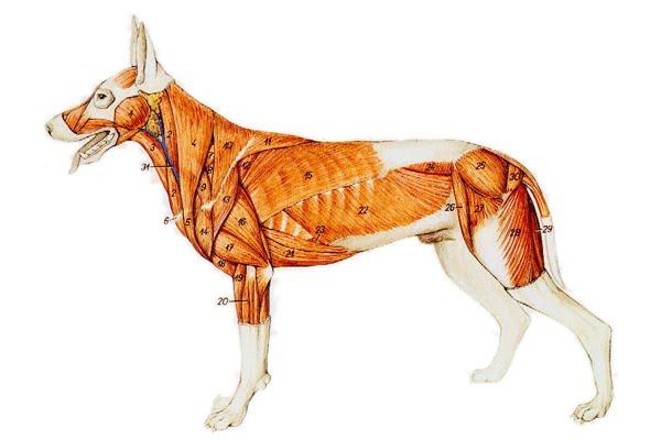 Lobos Perros Siluetas Mamíferos: Músculos De La Cara