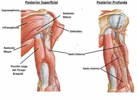 Músculos del brazo: ¿Qué son? Anatomía, función, partes y mucho más