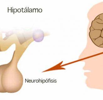 Neurohipófisis: definición, anatomía, función, enfermedades y más