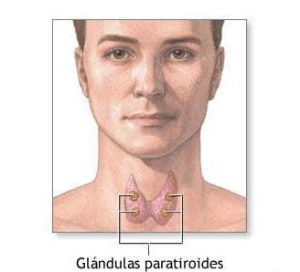 Paratiroides: ¿Qué es? Anatomía, función, fisiología, ubicación y mucho más