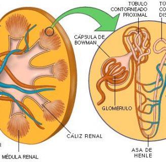 Conoce las partes del riñón y sus funciones