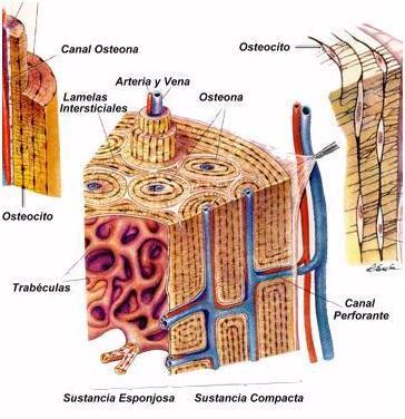 Tejido Óseo: Definición, anatomía, función, características y mucho más