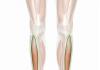 Tibial Anterior: Origen, Función, Anatomía Y Más