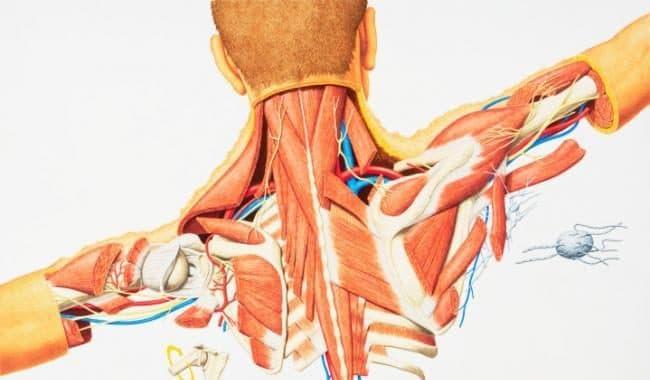 Mecanismo de Contracción Muscular