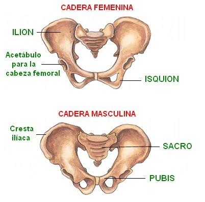 Hueso Coxal: anatomía, función, clasificación y más