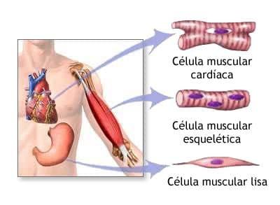 Organos del Sistema Muscular