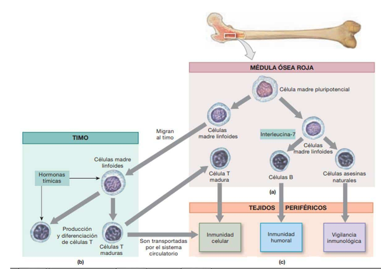 Cuáles son los Síntomas del linfoma? Descúbrelos aquí