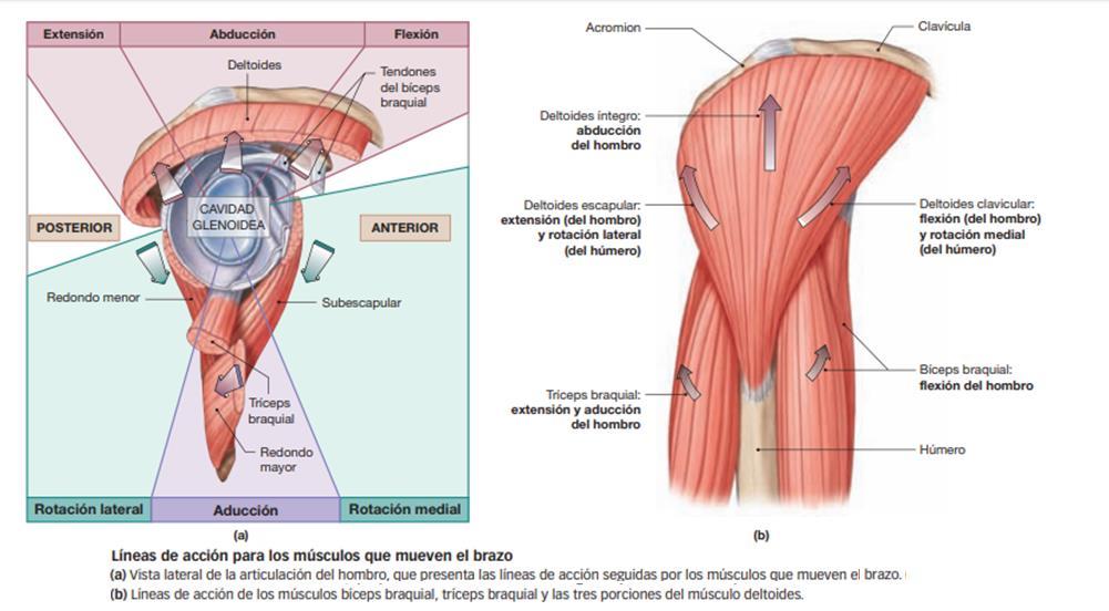 Sabe qué son los deltoides? Descúbralo aquí