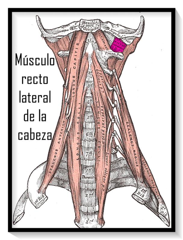 Músculos Cervicales: origen e inserción, contractura, inflamación y más