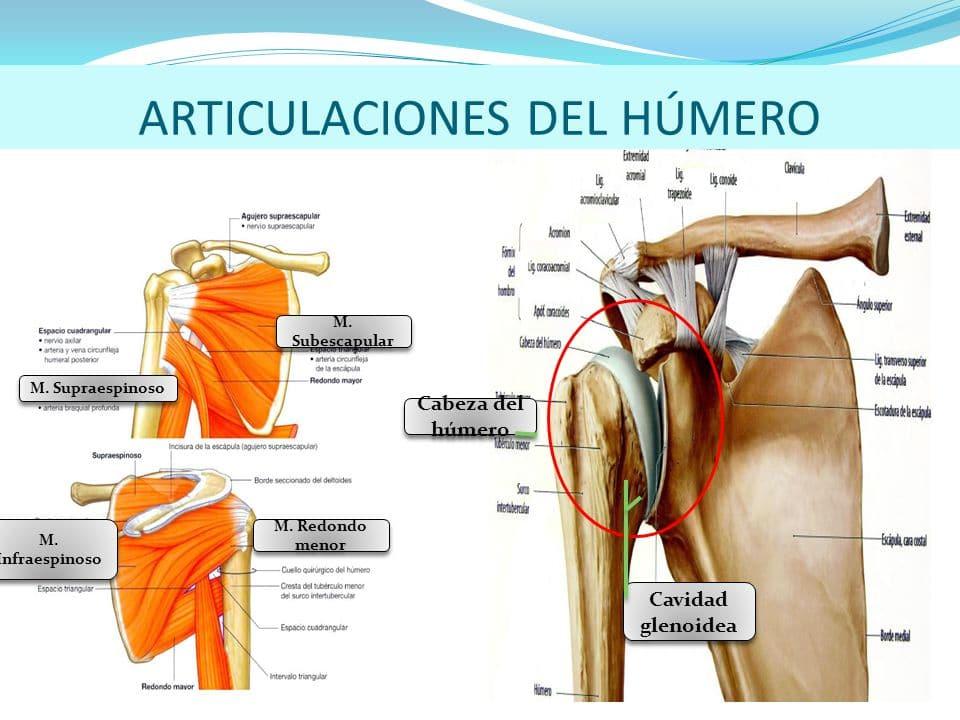 Hueso húmero: definición, anatomía, función y más