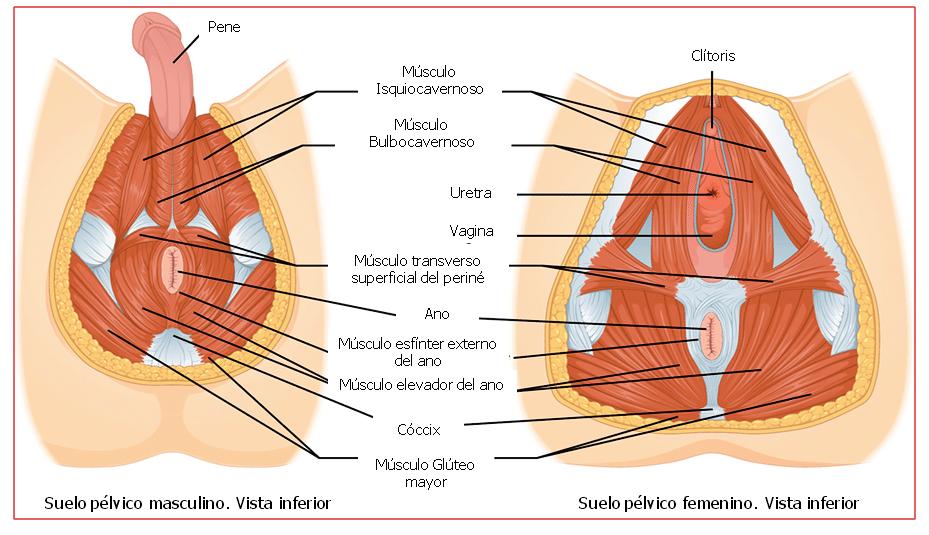Músculos de la Pelvis: ¿qué son? Anatomía, Función y más
