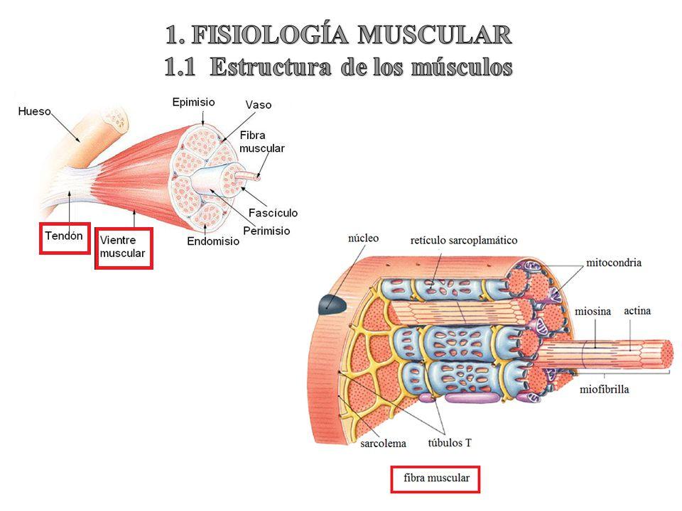 Tipos de fibras musculares: ¿qué son? ¿cuáles son? Funciones y mucho más