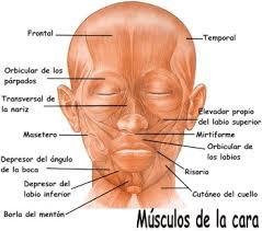 Clasificación de los Músculos-12