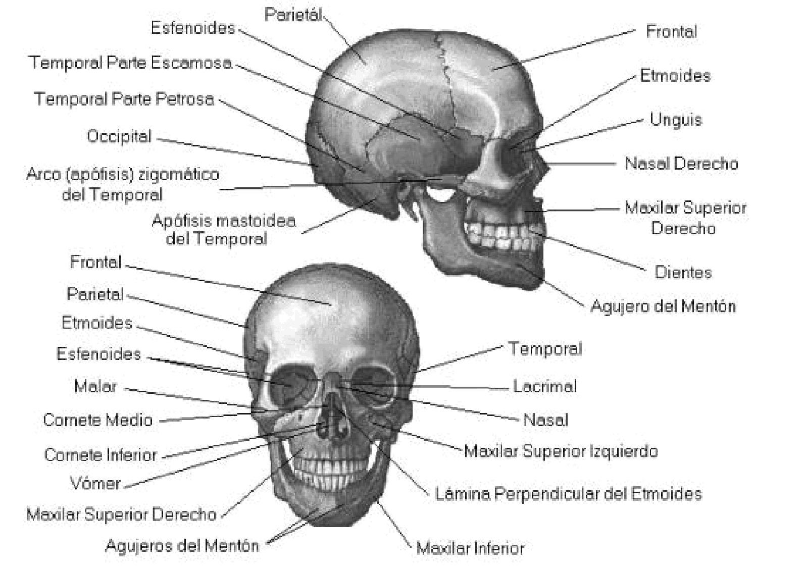 Huesos maxilares: articulaciones, maxilares superiores, funciones ...