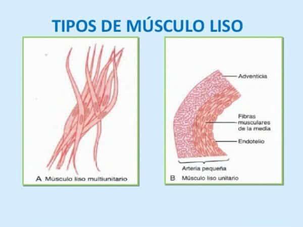 Clasificación de los Músculos-14