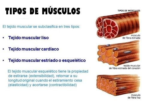 Clasificación de los Músculos-3