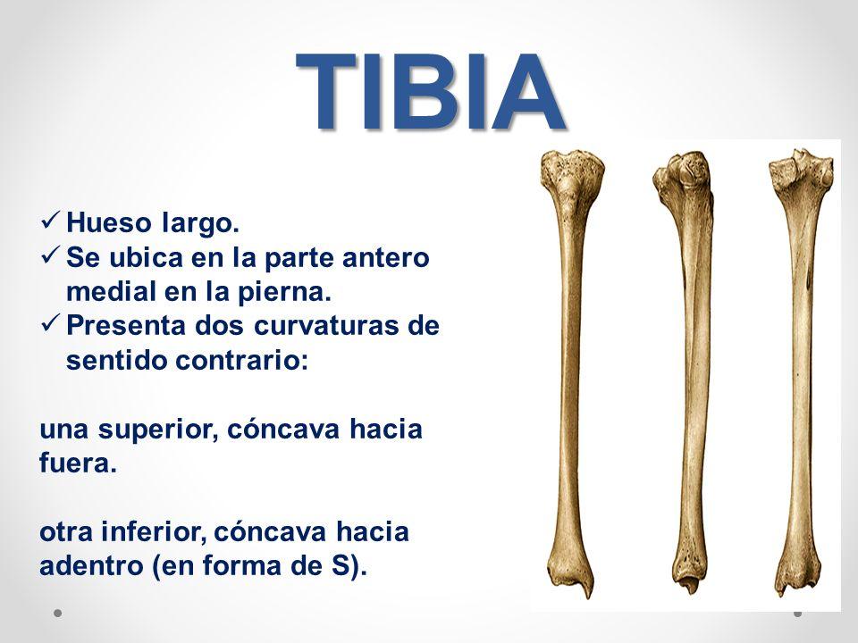 Hueso tibia: anatomia, función, características y más