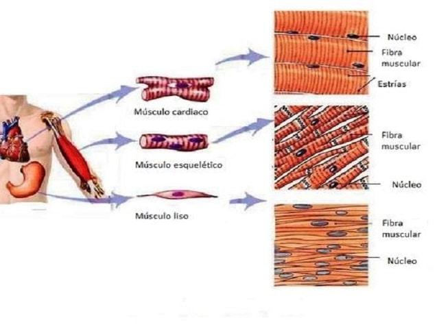 Clasificación de los Músculos-10