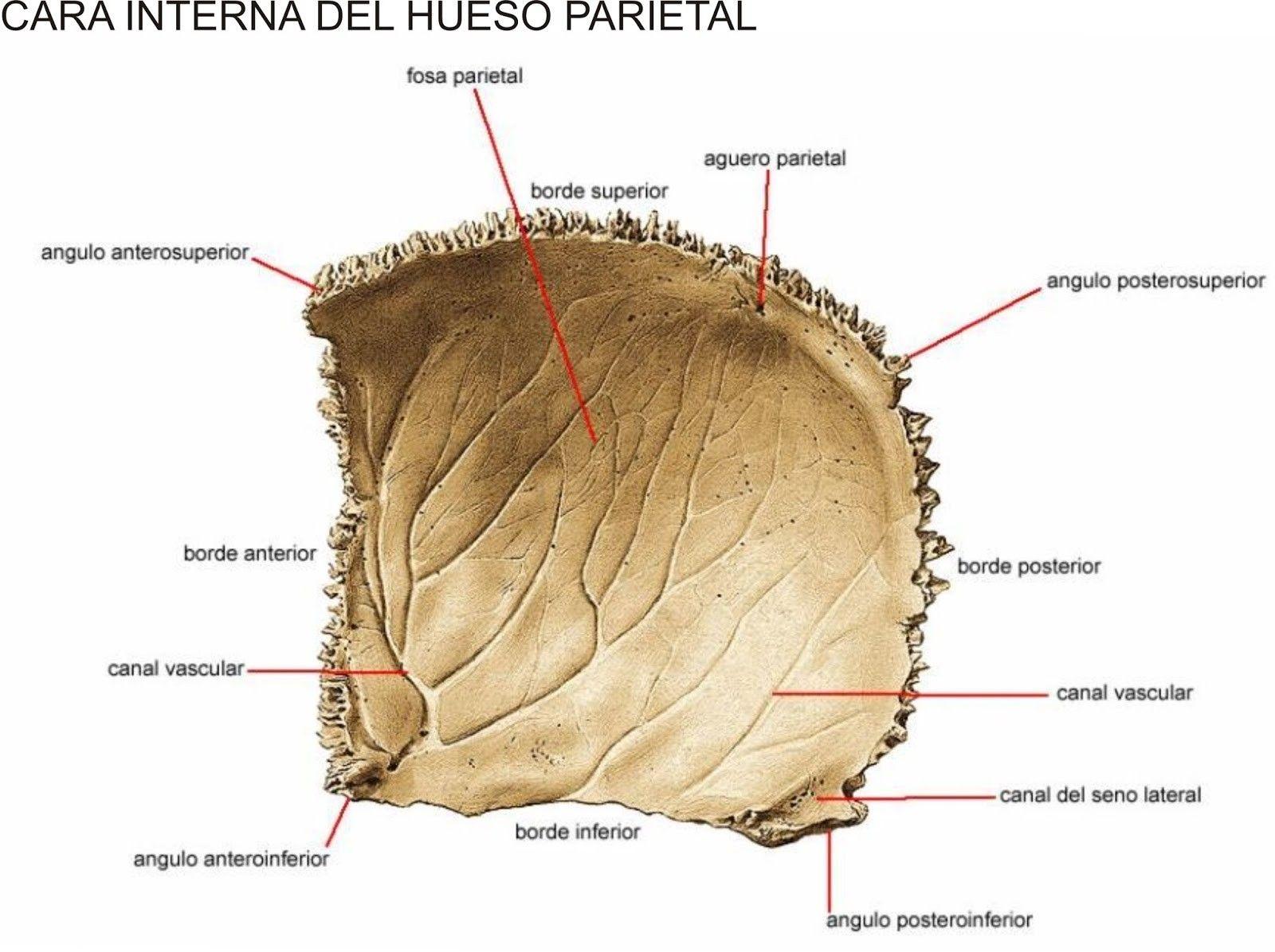Hueso occipital: sus partes, características, articulaciones ...