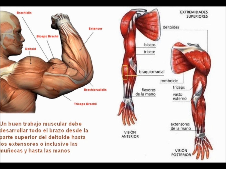 Músculos del antebrazo: origen, funciones, y más