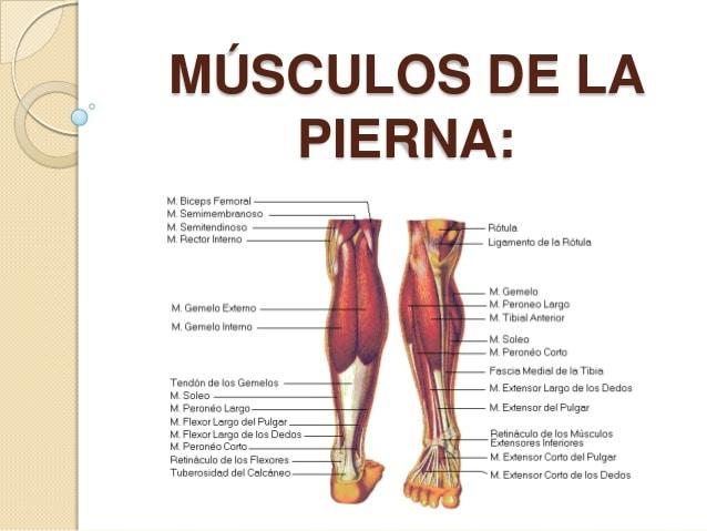 Músculos de la pierna: anatomía, función, partes, origen e inserción ...