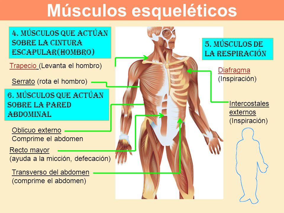Músculos esqueléticos: ¿qué son? Función, carácterísticas, tipos y más