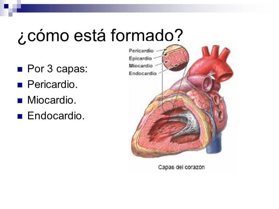 Músculos Cardíacos: ¿Qué Son? Función, Fisiología, Partes y Más