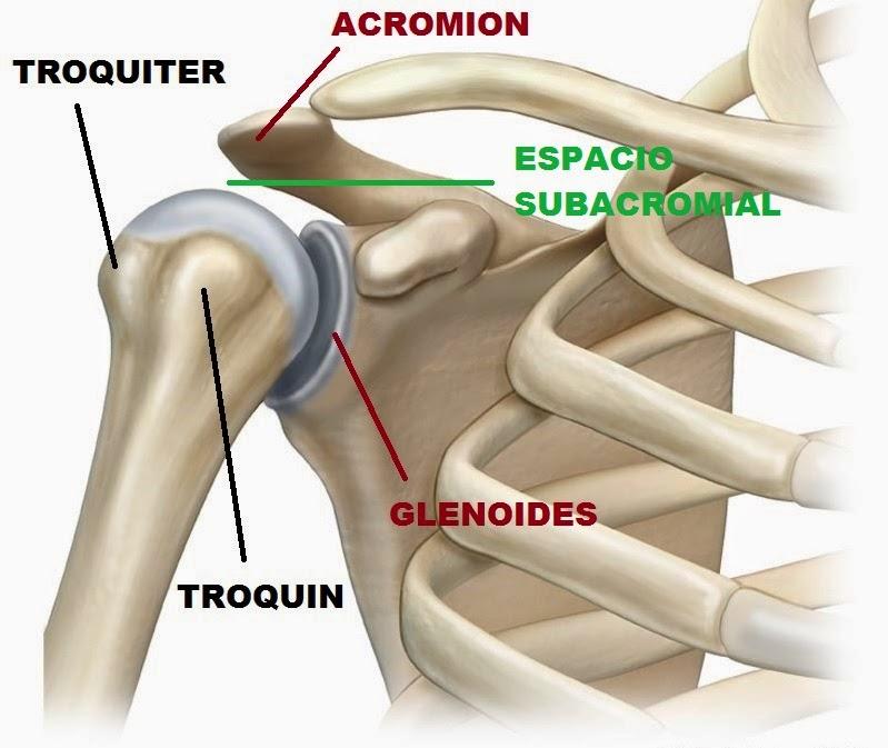 Huesos del hombro: funciones, inflamado, ¿por qué suena? Y más