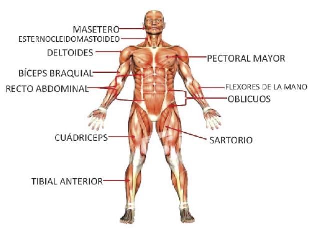 Sistema muscular y sus partes: ¿cuáles son? Funciones, enfermedades ...