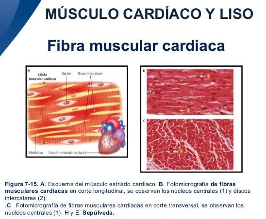 Tejido muscular cardíaco: características, ubicación, y más