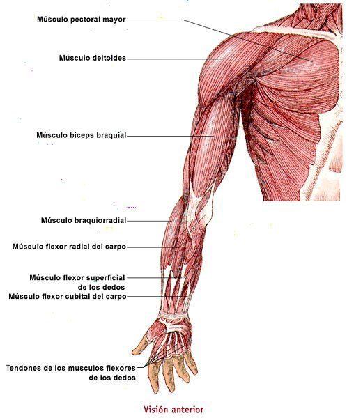Músculos abductores: características y todo lo que aún desconoce