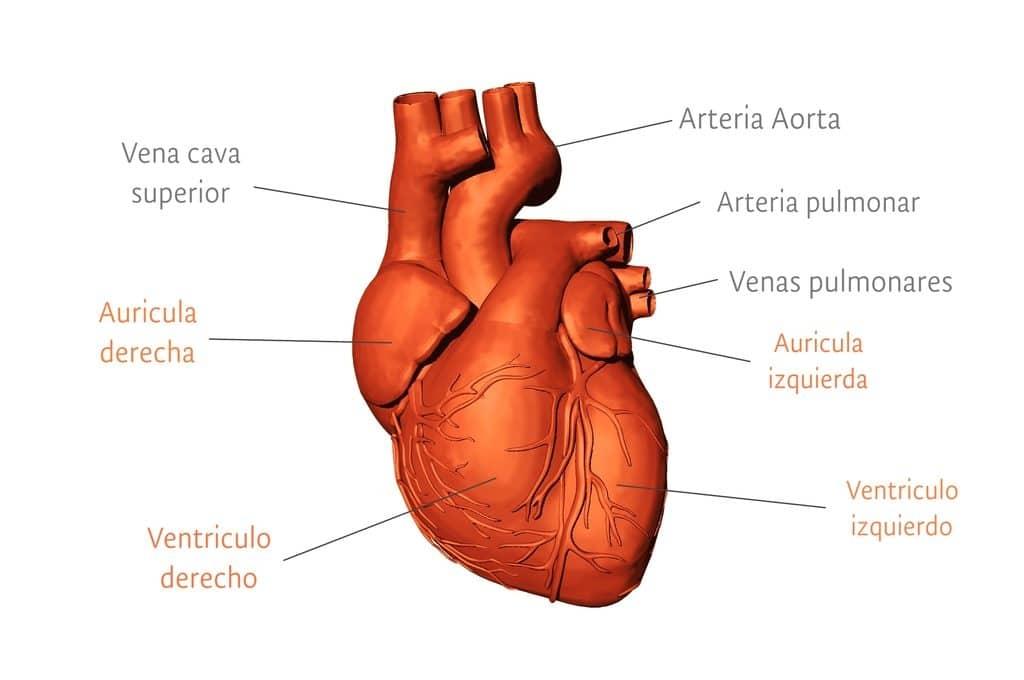 Conoce todo sobre las Características del sistema muscular
