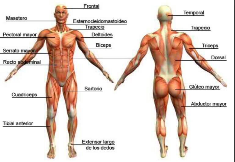 Clasificación de los Músculos-9