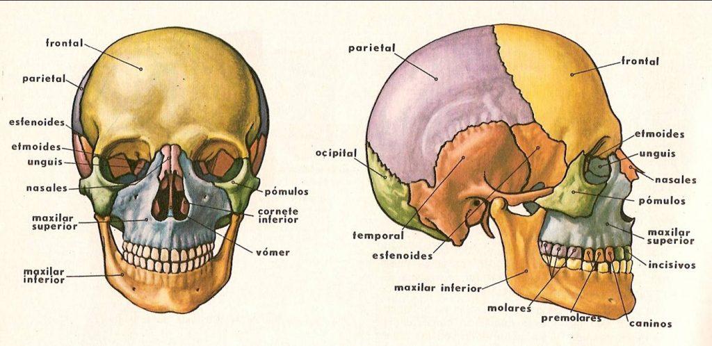 Huesos de la cabeza: ¿Cuántos son?, Anatomía, funciones y mucho más