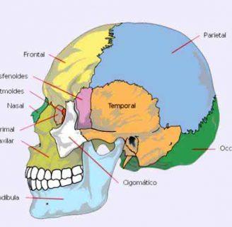 Huesos del Cráneo: ¿Cuántos son? Anatomía, funciones, partes, tipos y muchos más