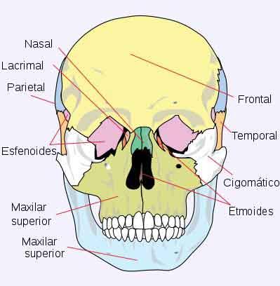 Huesos del Cráneo: ¿Cuántos son? Anatomía, funciones, y muchos más
