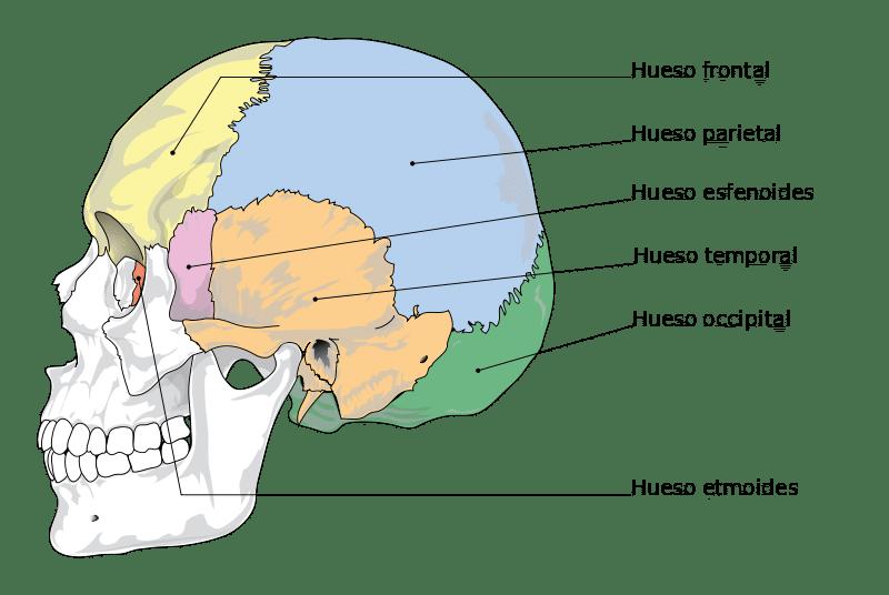 Huesos Del Cr 225 Neo 191 Cu 225 Ntos Son Anatom 237 A Funciones