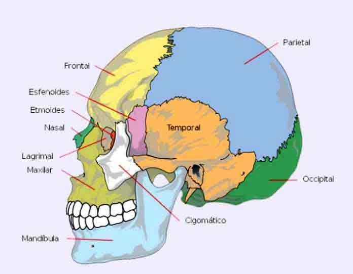 Huesos del cr neo cu ntos son anatom a funciones y - Sin cara definition ...