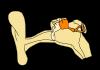 Aprende sobre los Huesos del Oído y sus funciones