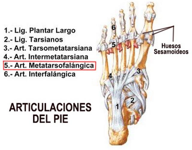 Huesos sesamoideos: ¿qué son? Función, tratamiento y más