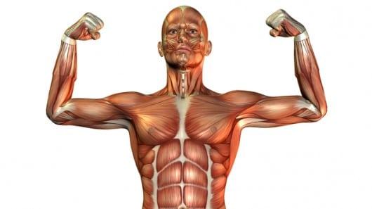 Clasificación de los Músculos-1