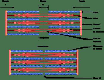 Clasificación de los Músculos-11