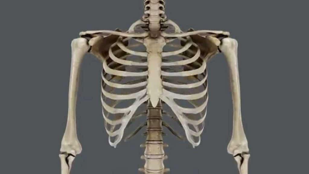 Huesos del tórax: anatomía, funciones, tipos, partes y más