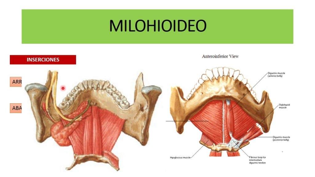 Musculo milohioideo origen inserci n funci n y m s for Esternohioideo y esternotiroideo