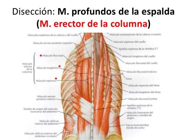 Aprende todo sobre el músculo erector de la columna
