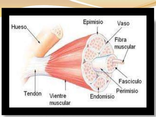 Clasificación de los músculos-23